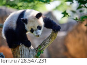 Купить «Giant panda (Ailuropoda melanoleuca) cub climbing and exploring its enclosure. Yuan Meng, first giant panda ever born in France,  age 10 months, Captive at Beauval Zoo, Saint Aignan sur Cher, France», фото № 28547231, снято 25 июня 2018 г. (c) Nature Picture Library / Фотобанк Лори