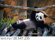 Купить «Giant panda (Ailuropoda melanoleuca) cub playing on wooden structure. Yuan Meng, first giant panda ever born in France,  age 10 months, Captive at Beauval Zoo, Saint Aignan sur Cher, France», фото № 28547235, снято 17 июня 2019 г. (c) Nature Picture Library / Фотобанк Лори