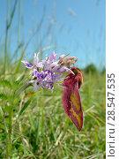 Купить «Small elephant hawk-moth (Deilephila porcellus) on Common spotted orchid (Dactylorhiza fuchsii) Wiltshire, UK, May.», фото № 28547535, снято 22 июля 2018 г. (c) Nature Picture Library / Фотобанк Лори