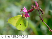 Купить «Brimstone butterfly (Gonepteryx rhamni) feeding on a Red campion flower (Silene dioica) in a woodland clearing, Wiltshire, UK, July.», фото № 28547543, снято 20 мая 2019 г. (c) Nature Picture Library / Фотобанк Лори