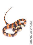 Купить «Calico snake (Oxyrhopus petolarius) juvenile from La Selva Biological Station, Costa Rica. Non-venomous snake which mimics venomous coral snakes.», фото № 28547563, снято 15 августа 2018 г. (c) Nature Picture Library / Фотобанк Лори