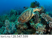 Купить «Hawksbill turtle (Eretmochelys imbricata) on coral reef, Central Visayas, Philippines, Pacific Ocean, Critically endangered species.», фото № 28547599, снято 31 мая 2020 г. (c) Nature Picture Library / Фотобанк Лори