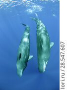 Купить «Two Sperm whales (Physeter macrocephalus) with a distant free diver, Dominica, Caribbean Sea, Atlantic Ocean, Vulnerable species.», фото № 28547607, снято 19 августа 2018 г. (c) Nature Picture Library / Фотобанк Лори