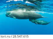 Купить «Sperm whale (Physeter macrocephalus) mother surfacing with calf below, Dominica, Caribbean Sea, Atlantic Ocean, Vulnerable species.», фото № 28547615, снято 19 августа 2018 г. (c) Nature Picture Library / Фотобанк Лори