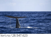 Купить «Sperm whale (Physeter macrocephalus) tail as it starts to dive, Dominica, Caribbean Sea, Atlantic Ocean, Vulnerable species.», фото № 28547623, снято 19 августа 2018 г. (c) Nature Picture Library / Фотобанк Лори