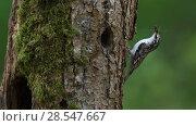 Купить «Eurasian treecreeper (Certhia familiaris) carrying invertebrate prey to nest in tree trunk, Vosges, France, April.», фото № 28547667, снято 19 августа 2018 г. (c) Nature Picture Library / Фотобанк Лори