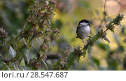 Купить «Marsh tit (Poecile palustris)  Vosges, France, August.», фото № 28547687, снято 17 августа 2018 г. (c) Nature Picture Library / Фотобанк Лори