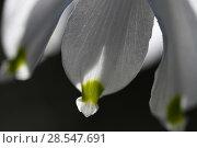 Купить «Spring snowflake flower (Leucojum vernum) close up of petal, Vosges, France, March.», фото № 28547691, снято 21 сентября 2018 г. (c) Nature Picture Library / Фотобанк Лори