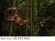 Купить «Ringed tree boa (Corallus annulatus)  La Selva Biological Station, Costa Rica.», фото № 28547843, снято 22 июля 2018 г. (c) Nature Picture Library / Фотобанк Лори