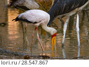 Купить «Marabou storks (Leptoptilos crumenifer) and yellow-billed storks (Mycteris ibis) hunting in the Msicadzi River, Gorongosa National Park, Mozambique.», фото № 28547867, снято 7 августа 2020 г. (c) Nature Picture Library / Фотобанк Лори