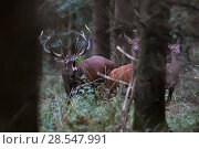 Купить «Red deer (Cervus elaphus) stag roaring, with hinds nearby amongst forest trees,  Vosges, France, September.», фото № 28547991, снято 28 мая 2020 г. (c) Nature Picture Library / Фотобанк Лори