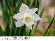 Купить «Нарциссы в весеннем саду», фото № 28548407, снято 4 мая 2018 г. (c) Ольга Сейфутдинова / Фотобанк Лори
