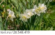 Купить «Нарциссы в весеннем саду», фото № 28548419, снято 5 мая 2018 г. (c) Ольга Сейфутдинова / Фотобанк Лори