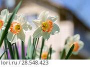 Купить «Нарциссы в весеннем саду», фото № 28548423, снято 5 мая 2018 г. (c) Ольга Сейфутдинова / Фотобанк Лори