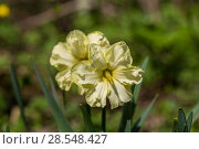 Купить «Нарциссы в весеннем саду», фото № 28548427, снято 5 мая 2018 г. (c) Ольга Сейфутдинова / Фотобанк Лори