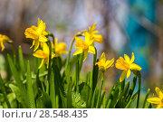 Купить «Нарциссы в весеннем саду», фото № 28548435, снято 5 мая 2018 г. (c) Ольга Сейфутдинова / Фотобанк Лори
