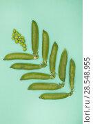 Купить «Стручки зелёного горошка на зелёном фоне», фото № 28548955, снято 4 июня 2018 г. (c) V.Ivantsov / Фотобанк Лори