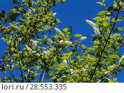 Купить «Цветущая черёмуха (лат. Prunus padus) на фоне голубого неба. BLossoming Bird Cherry tree (Prunus padus)», фото № 28553335, снято 7 мая 2018 г. (c) Ольга Сейфутдинова / Фотобанк Лори