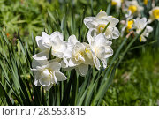 Купить «White narcissus (Narcissus poeticus)», фото № 28553815, снято 7 мая 2018 г. (c) Ольга Сейфутдинова / Фотобанк Лори
