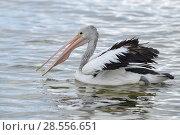 Купить «Australian pelican (Pelecanus conspicillatus) on water, Kangaroo Island, Australia», фото № 28556651, снято 17 августа 2018 г. (c) Nature Picture Library / Фотобанк Лори