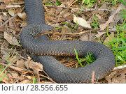 Купить «Lowland copperhead snake (Austrelaps superbus)  Tasmania, Australia», фото № 28556655, снято 15 августа 2018 г. (c) Nature Picture Library / Фотобанк Лори