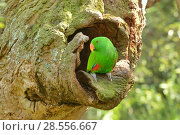Купить «Eclectus parrot (Eclectus roratus) male at nest hole, captive Captive.», фото № 28556667, снято 18 августа 2018 г. (c) Nature Picture Library / Фотобанк Лори