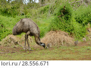 Emu (Dromaius novaehollandiae) male with chicks, Victoria, Australia. Стоковое фото, фотограф Dave Watts / Nature Picture Library / Фотобанк Лори