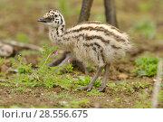Купить «Emu (Dromaius novaehollandiae) chick, Victoria, Australia», фото № 28556675, снято 18 августа 2018 г. (c) Nature Picture Library / Фотобанк Лори