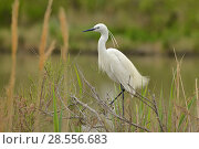 Купить «Little egret (Egretta garzetta) on vegetation, Camargue, France, April.», фото № 28556683, снято 27 января 2020 г. (c) Nature Picture Library / Фотобанк Лори