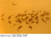 Купить «Flock of Common cranes (Grus grus) beginning to leave night time roost at dawn. Hula Valley, Israel. November.», фото № 28556747, снято 24 сентября 2018 г. (c) Nature Picture Library / Фотобанк Лори