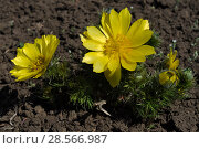 Купить «Adonis vernalis, pheasant's eye, plants with flowers», фото № 28566987, снято 11 апреля 2018 г. (c) Короленко Елена / Фотобанк Лори