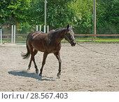 Купить «Mercer Island Saddle Club was established in 1967. Beautiful horse in training. Mercer Island, Seattle, WA, USA», фото № 28567403, снято 16 мая 2018 г. (c) Валерия Попова / Фотобанк Лори