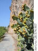 Купить «Prickly pear / Barbary fig (Opuntia ficus-indica) growing beside coastal footpath around the Acronauplia peninsula below the Citadel, Nafplio, Argolis, Peloponnese, Greece, August.», фото № 28574907, снято 25 сентября 2018 г. (c) Nature Picture Library / Фотобанк Лори