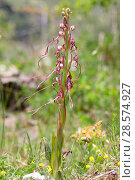 Adriatic lizard orchid (Himantoglossum adriaticum). Apennines, Italy, May. Стоковое фото, фотограф Kim Taylor / Nature Picture Library / Фотобанк Лори