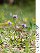 Купить «Common Globularia (Globularia vulgaris). Apennines, Italy, May.», фото № 28574931, снято 23 октября 2019 г. (c) Nature Picture Library / Фотобанк Лори