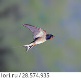 Купить «Barn Swallow (Hirundo rustica) bringing food to the nest. Surrey, England, UK.», фото № 28574935, снято 18 сентября 2018 г. (c) Nature Picture Library / Фотобанк Лори