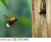 Купить «Tree bumblebee (Bombus hypnorum) worker approaching nest in bird box. Surrey, England, UK, May.», фото № 28574943, снято 19 июня 2018 г. (c) Nature Picture Library / Фотобанк Лори