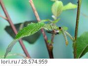 Купить «Parasitic wasp (Braconidae) with ovipositor extended approaching caterpillar of Lesser Willow Sawfly (Nematus pavidus).   Surrey, England, June.», фото № 28574959, снято 21 сентября 2019 г. (c) Nature Picture Library / Фотобанк Лори