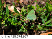 Купить «Green hairstreak butterfly (Callophrys rubi). Apennines, Italy, May.», фото № 28574967, снято 13 декабря 2018 г. (c) Nature Picture Library / Фотобанк Лори