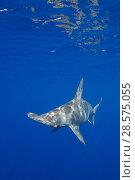 Купить «Female scalloped hammerhead shark, Sphyrna lewini, off Keauhou, South Kona, Big Island, Hawaii, USA ( Central Pacific Ocean )», фото № 28575055, снято 27 марта 2019 г. (c) Nature Picture Library / Фотобанк Лори