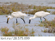 Купить «Two Eurasian spoonbills (Platalea leucorodia) foraging together in tidal marshland, one with a colour ring attached as a nestling in Denmark three years...», фото № 28575099, снято 20 марта 2019 г. (c) Nature Picture Library / Фотобанк Лори