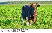 Купить «Black cow grazing on pasture with green grass», видеоролик № 28575247, снято 27 мая 2018 г. (c) BestPhotoStudio / Фотобанк Лори