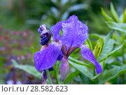 Купить «Синий ирис (iris) в каплях росы», эксклюзивное фото № 28582623, снято 12 июня 2018 г. (c) Александр Щепин / Фотобанк Лори