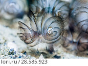 Купить «Southern horseshoe worm or Phoronids tubeworm (Phoronis australis).  Ambon, Indonesia.», фото № 28585923, снято 16 июля 2018 г. (c) Nature Picture Library / Фотобанк Лори