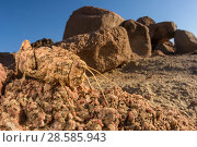 Купить «Stone grasshopper (Pamphagidae sp.) perfectly camouflaged among rock. Brandberg mountain area, Namibia», фото № 28585943, снято 21 августа 2018 г. (c) Nature Picture Library / Фотобанк Лори