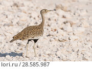 Купить «Red-crested korhaan or red-crested bustard (Lophotis ruficrista) female on the gravel plains of Etosha National Park, Namibia», фото № 28585987, снято 22 июля 2018 г. (c) Nature Picture Library / Фотобанк Лори
