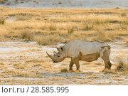 Купить «Black rhino (Diceros bicornis) and dry grasses, Etosha National Park, Namibia», фото № 28585995, снято 18 августа 2018 г. (c) Nature Picture Library / Фотобанк Лори