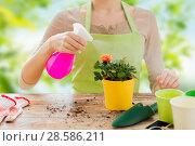 Купить «close up of woman hands spraying roses in pot», фото № 28586211, снято 3 марта 2015 г. (c) Syda Productions / Фотобанк Лори