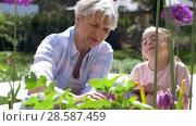 Купить «grandmother and girl study flowers at garden», видеоролик № 28587459, снято 11 июня 2018 г. (c) Syda Productions / Фотобанк Лори