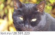 Купить «Black cat walks along fallen leaves», видеоролик № 28591223, снято 2 марта 2018 г. (c) BestPhotoStudio / Фотобанк Лори